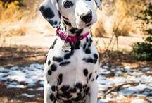 Dalmatians далматинец