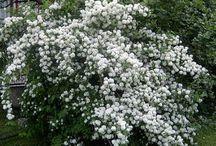 White flowers for my garden