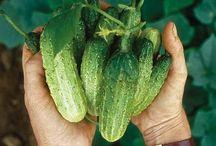 Pickling Cucumber