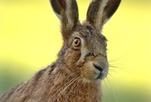 Hare ref