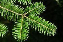 havupuut
