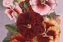 All Things Gardening Seed Packet - pansy