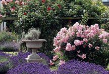 Gravel gardens lavender and roses