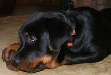 A Rottweilers Blog Photos /  K9 takes to literature