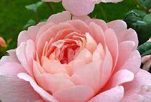 Ruusut / Roses