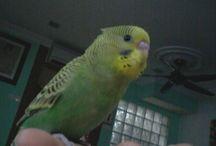 Love Bird. / An animal that belongs to the class Aves.