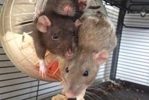 I LOVE RATS!!