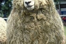 The Faces of Wool / Fiber Animals -- from Sheep to Goats and Alpacas to Llamas, and other Luxury Fiber bearing animals: Musk Ox, Buffalo, Camel, etc.