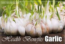 Health befit Garlic / How to Grow Garlic in a Container To grow garlic in pots is a challenge, because it has a very long growing season and garlic needs regular watering. Growing garlic is an ideal project for the beginning or seasoned gardener. An entire garlic bulb is planted into soil and it creates a garlic vine. You can plant many different kinds of garlic, such as the White Pearl, Lautrec Wight and Purple Moldovan Wight. Read more http://naturebring.com/b…/how-to-grow-garlic-in-a-container/
