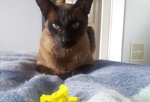 Our Tonkinese Cats / We have three Tonkinese cats, Whiskey, Bailey and Tamsin.