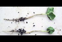 черная ножка у растений болезнь