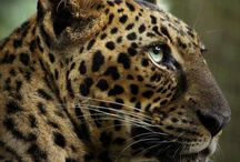 Leopards / Photos, Videos, Stories, & Posts about Leopards