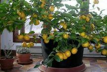 Vaso de limão em casa