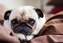 Pugs / Life without a pug is possible but pointless / by Stéphanie Baustert