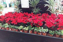 Christmas Poinsettias at Johnstown Garden Centre