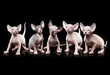 Sphynx cats / We have two sphynx cats at home, Miss Sunny Peaches (born Oct. 2010) and Princess Leia (born June 2011). It's a hairless breed, so you have to keep them warm. Somehow they are more like dogs - they play fetch, they drink out of the toilet, they want to go outside... ;-)
