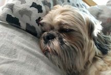 Murphy, the Shih-tzu / While I have cared for and briefly lived with other dogs from time-to-time, Murphy is my first true dog. Lisa and I are the proud owners of this crazy shih-tzu and we couldn't be happier.