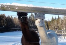 Winter on the Farm / Experience the beauty of a Vermont winter at Snowshoe Farm Alpacas