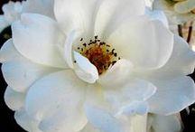 Trädgård - rosor