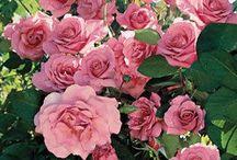 Růže popínavé / popínavých růží