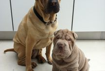 Skye and Lola / About my shar pei Skye and my other shar pei, Lola who sadly died last October