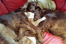 Our Forestcats & Irish Setters