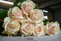 Talea+® / In bud, a beautiful large droplet and in bloom, a large-flowered beauty in a chic shade that sits somewhere between cream and champagne. Talea+® is Latin for 'tailor-made' or 'haute couture', but in the form of a majestic rose with a cheeky touch of salmon pink. A strong, warm look - beautiful material for bridal arrangements and modern statement designs.