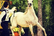 Arabian Horses / Tripodi Arabians Stud
