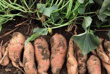 Gardening- Sweet Potatoes