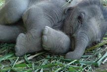 Elephants are amazing / I simply love these great creatures
