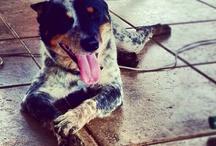 Jack / Blue Heeler Dog