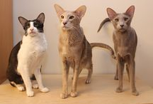 My wonderful cats <3 / My oriental shorthair cats and siamese cat. Itämaisia lyhytkarvoja ja siamilainen, minun omat