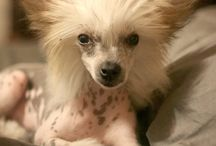 Chinese Crested Powder Puff!! / by D'Etta Kelly