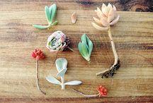 suculent plants