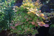 De herfst is begonnen / De eerste esdoorns beginnen te kleuren