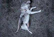 Wolf hunde