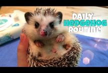 Jeże ••• Hedgehogs / Samotniki, jedzą owady, robaki i owoce, minimalne wymiary klatki około 120x40x35, żyją około 5 lat