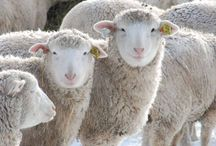 Sheep and All Things Sheep / by Andrea Fellows