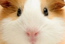 Guinea Pigs and Other Pet Rodents