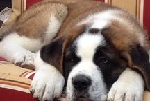 chien St Bernard / animaux
