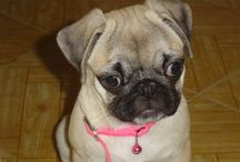 Puky the Pug / My cute baby, smart girl pug