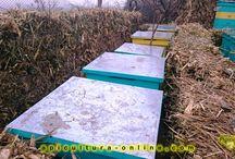Apiculture (Beekeeping)