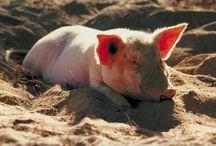 Hog Farming / by Megan Dobbs