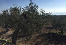 Campagna Olearia 2015-16 / Olio extravergine di Oliva pugliese Dop Gargano, Biologico e fruttato. Immagini dai campi...