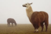 Llamas / ...because I'm obsessed. They are sooo cute! Don't try to change my mind.