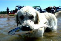 Собака на рыбалке. Собаки  ловля рыбы.