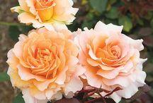 roses / by Rachel Baker