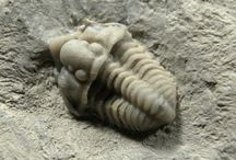 Trilobitas