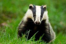 badgers n more