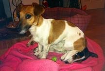 Jack Russell's - My Dogs